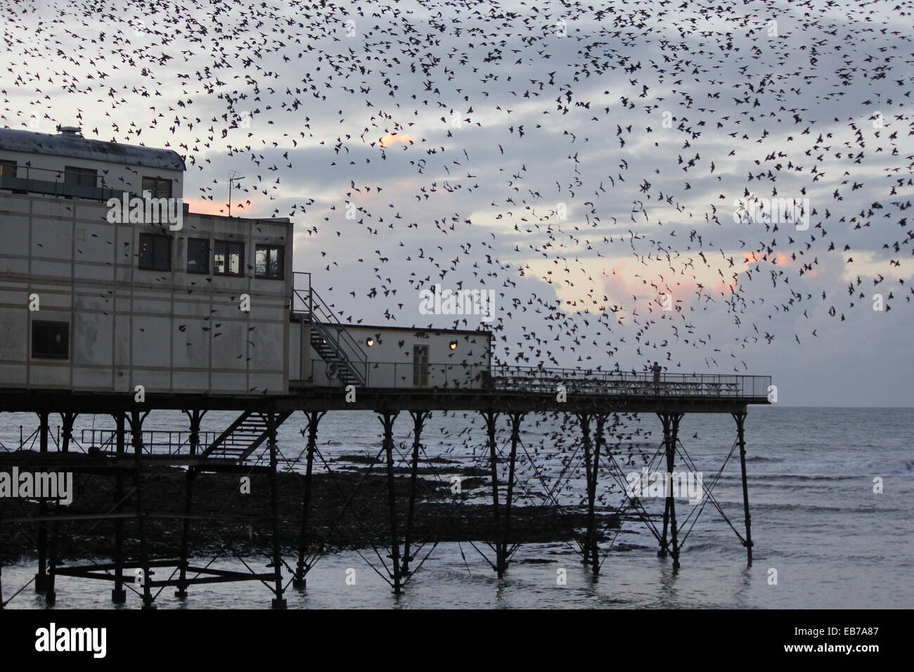 Aberystwyth Wales . A murmuration of starlings return to roost on the pier at sundown. - Stock Image