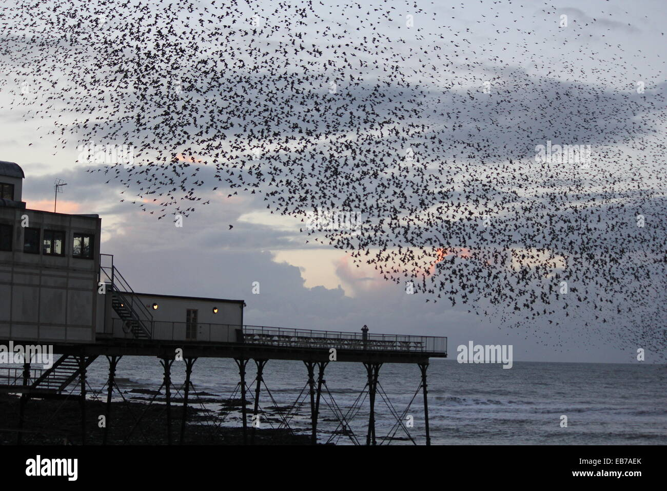 Aberystwyth Wales. A murmurtion of starlings return to roost on the pier st sundown. - Stock Image
