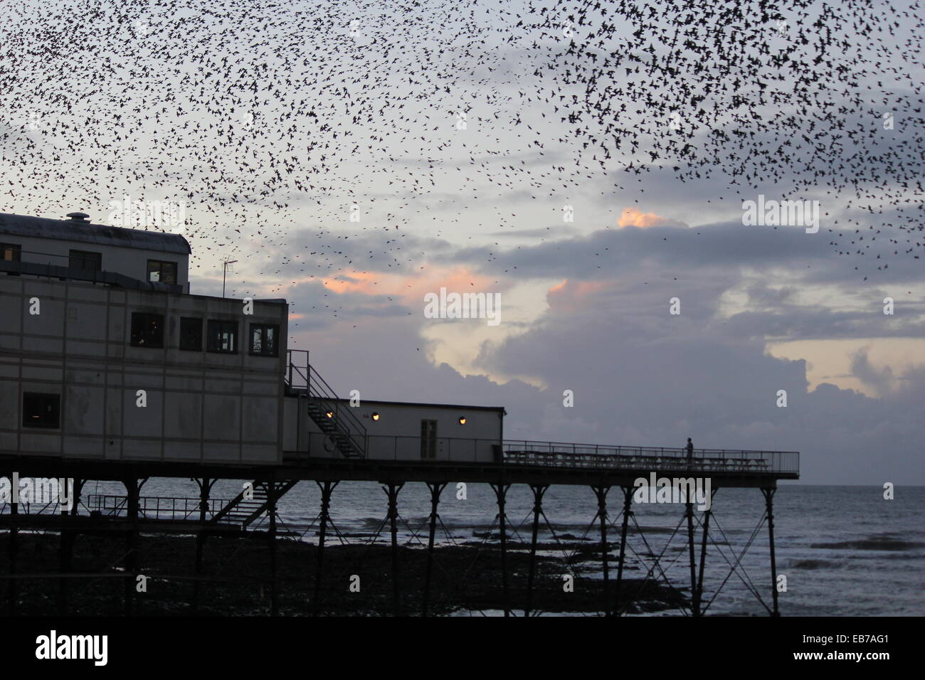 Aberystwyth Wales. A murmuration of starlings return to roost on the pier at sundown. Stock Photo