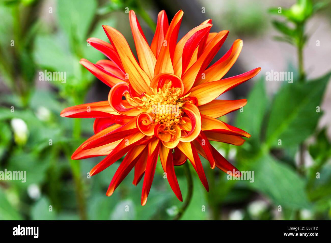 Dahlia flower stock photos dahlia flower stock images alamy the orange petals of a jescot julie dahlia flower stock image izmirmasajfo
