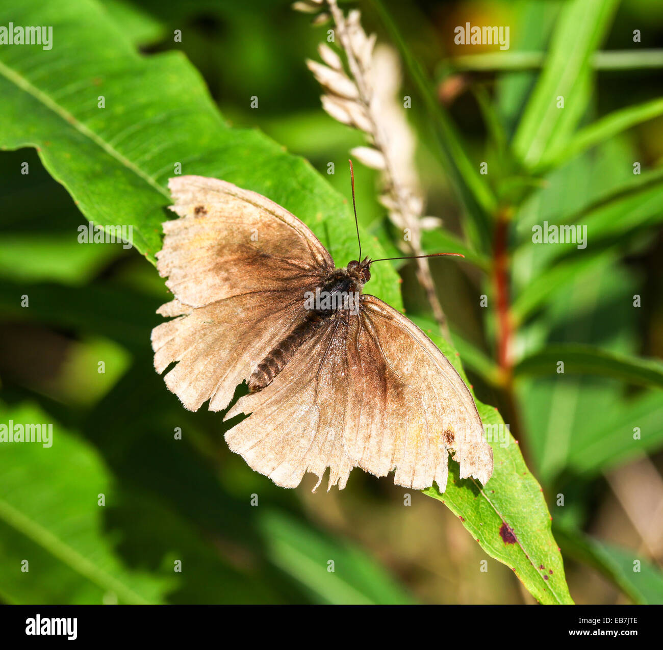 A tatty battered old ragged male Meadow Brown (Maniola jurtina) butterfly - Stock Image
