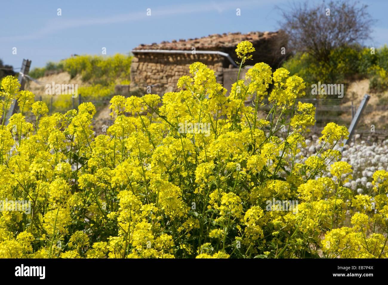 Vineyards Full Of Flowers In Spring In La Rioja Spain Stock Photo
