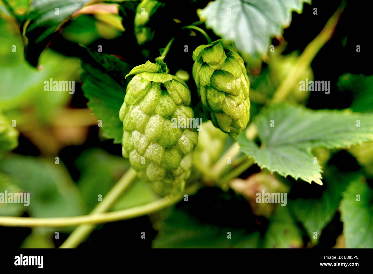 FRESH HOPS GROWING IN A HEDGEROW IN DEVON ENGLAND - Stock Image