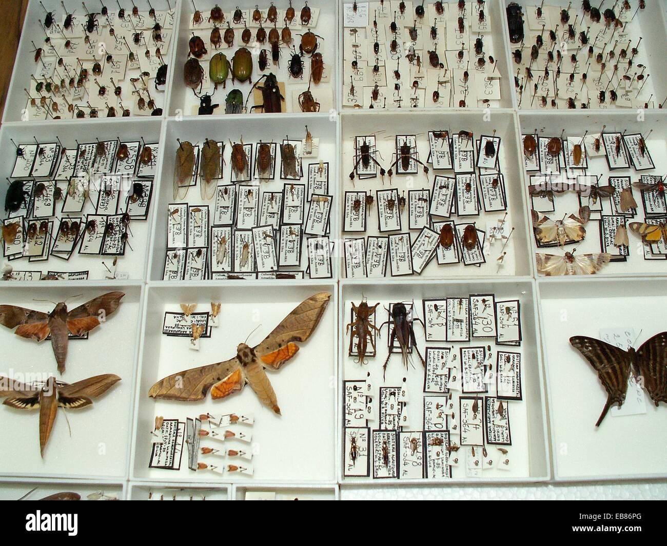 Insects pinned in small unity trays, Acre, Brazil, 2009 - Stock Image