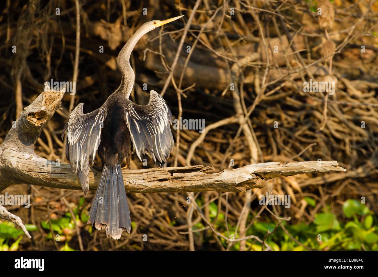 Anhinga (Anhinga anhinga) or Snakebird - Stock Image