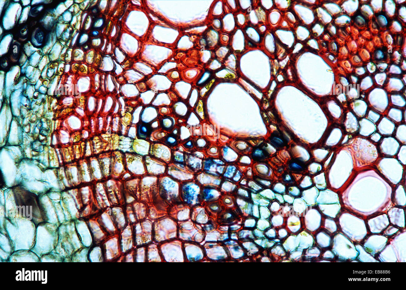 Dicotyledon root (cross section) xylem phloem pith vascular bundle Stock Photo ...