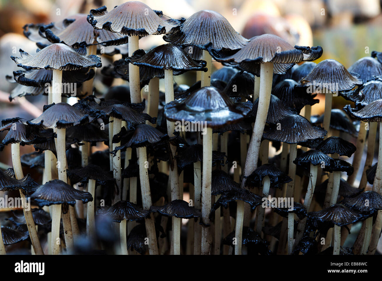 Declining Fairies Bonnets mushrooms (Coprinellus disseminatus, syn. Coprinus disseminatus) - Stock Image