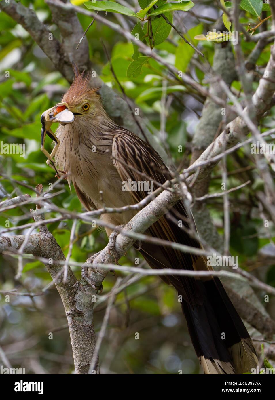 Guira cuckoo (Guira guira) - Stock Image
