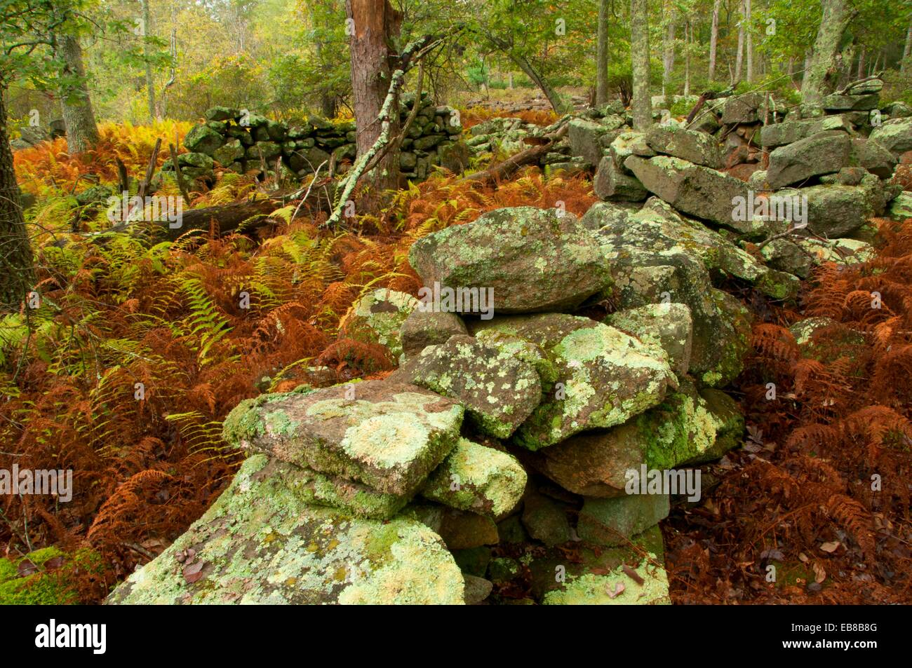 Rockwall along Crossover Trail, Pachaug State Forest, Connecticut - Stock Image