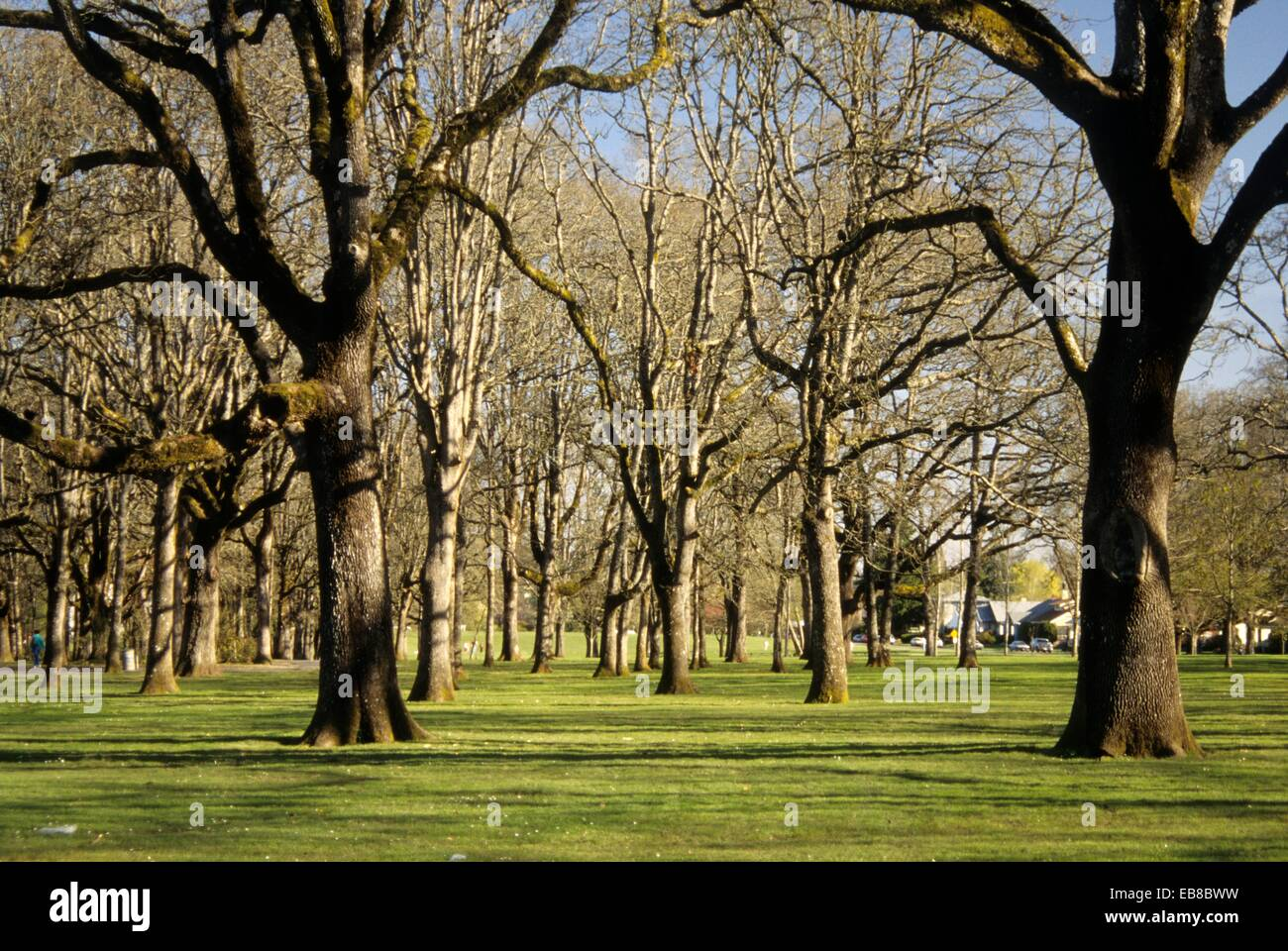 Oak grove, Bushs Pasture Park, Salem, Oregon - Stock Image