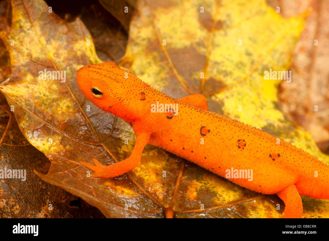 Red eft, Tunxis State Forest, Connecticut. Stock Photo