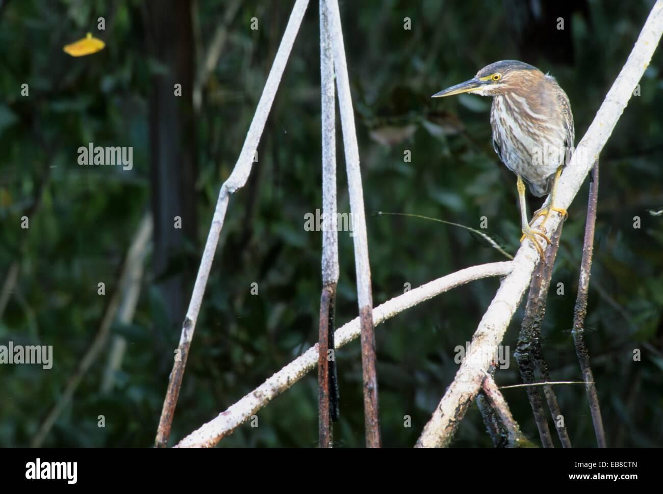Green-backed heron, JN Ding Darling National Wildlife Refuge, Florida. - Stock Image
