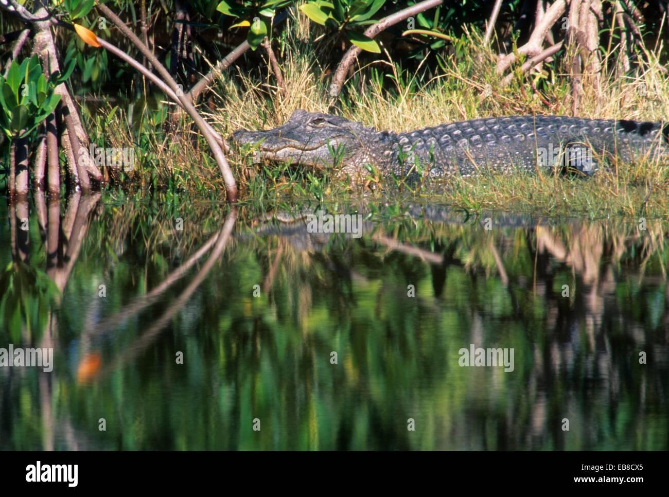 Alligator, JN Ding Darling National Wildlife Refuge, Florida. - Stock Image