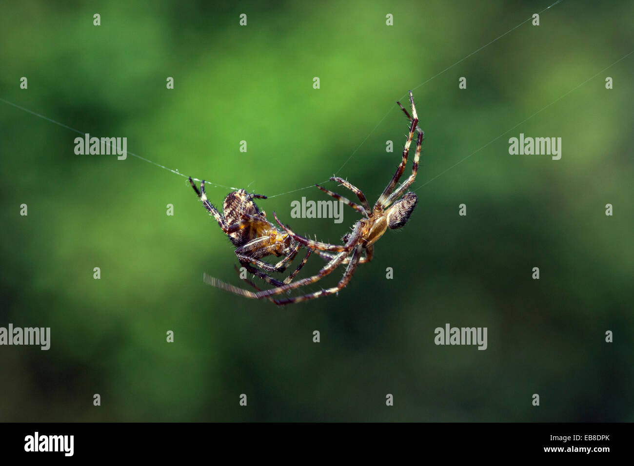 European garden spiders / diadem spider / cross spider / cross orbweaver (Araneus diadematus), courting male approaching - Stock Image