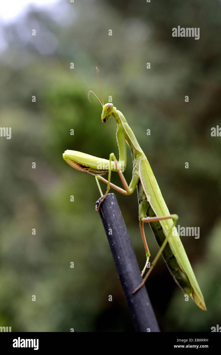 European Mantis or Praying mantis, Mantis religiosa. Stock Photo
