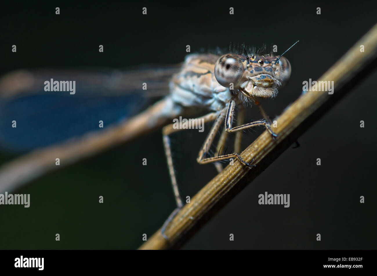 Cyan dragonfly on dark background - Stock Image
