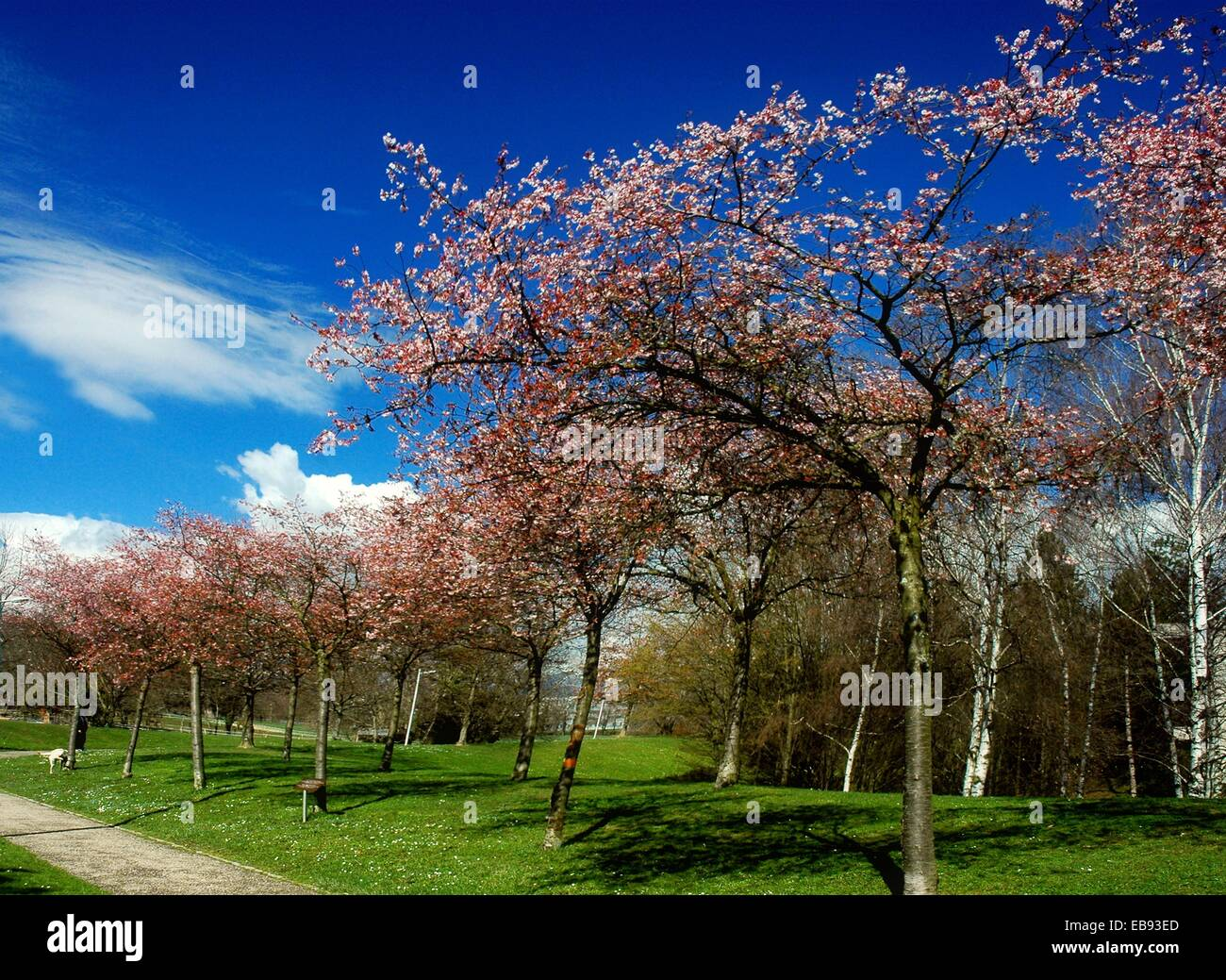 blossoming fruit trees against the blue sky, symbol of spring. Park in front of ILO building, Geneva, Switzerland - Stock Image