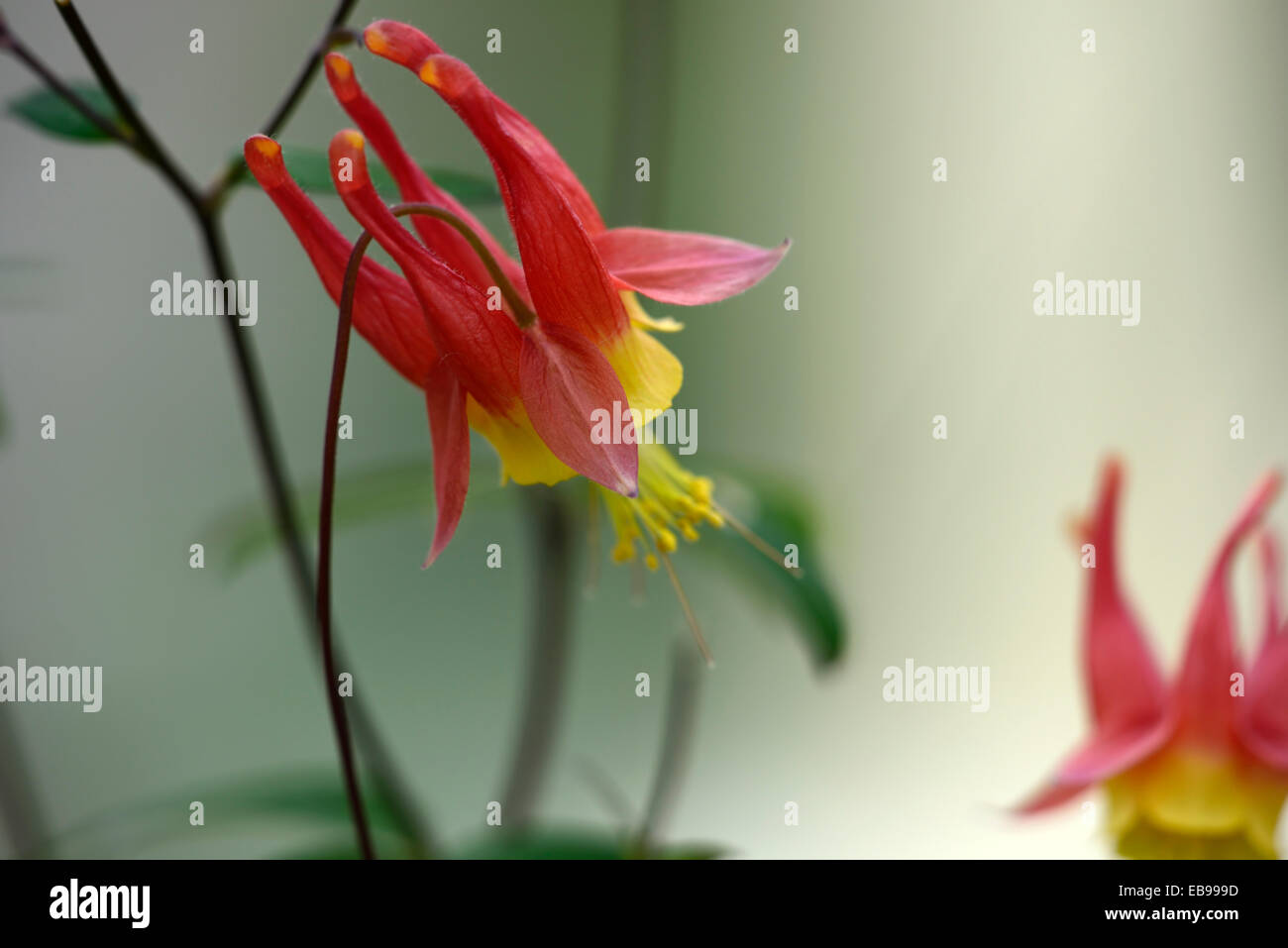 Aquilegia canadensis wild canadian columbine red yellow flower stock aquilegia canadensis wild canadian columbine red yellow flower flowering perennial rm floral mightylinksfo