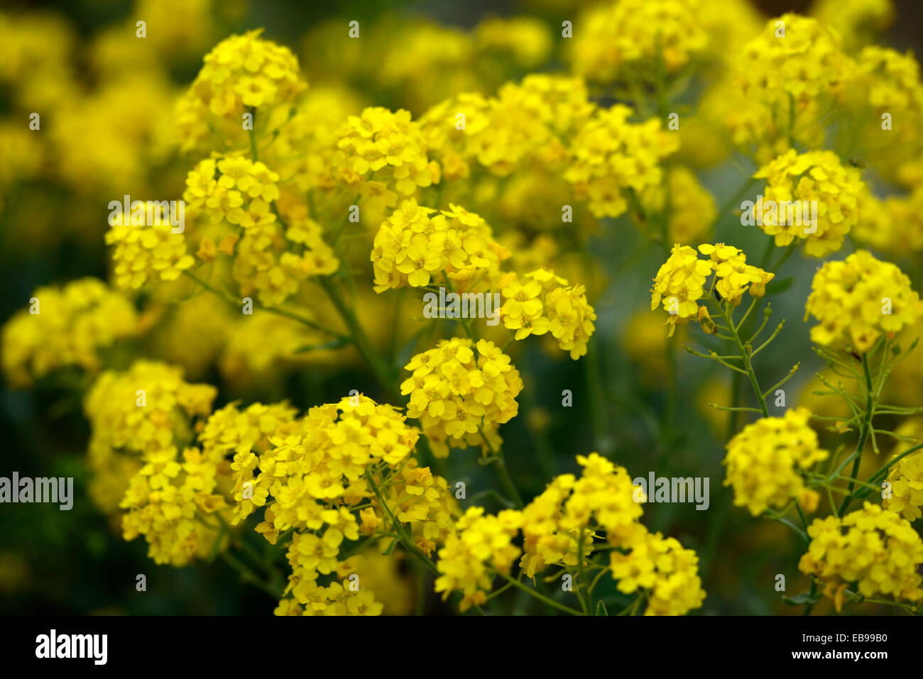 Gold yellow alyssum flowers basket of gold stock photos gold aurinia saxatilis gold alyssum basket of gold gold dust yellow flowers flower flowering inflorescence rm floral mightylinksfo