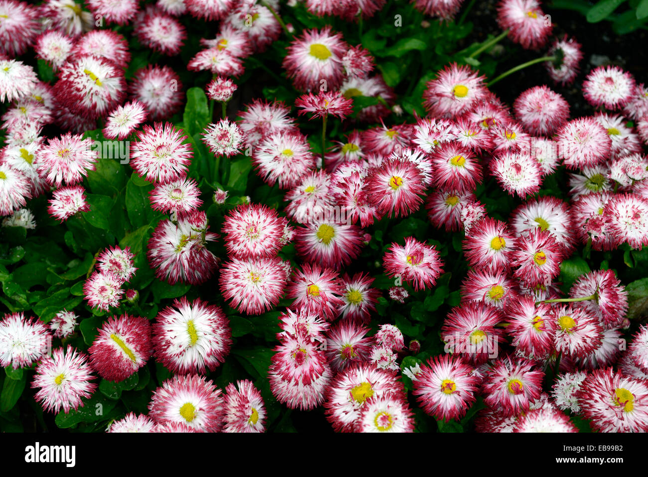White Flower Red Tips Stock Photos White Flower Red Tips Stock