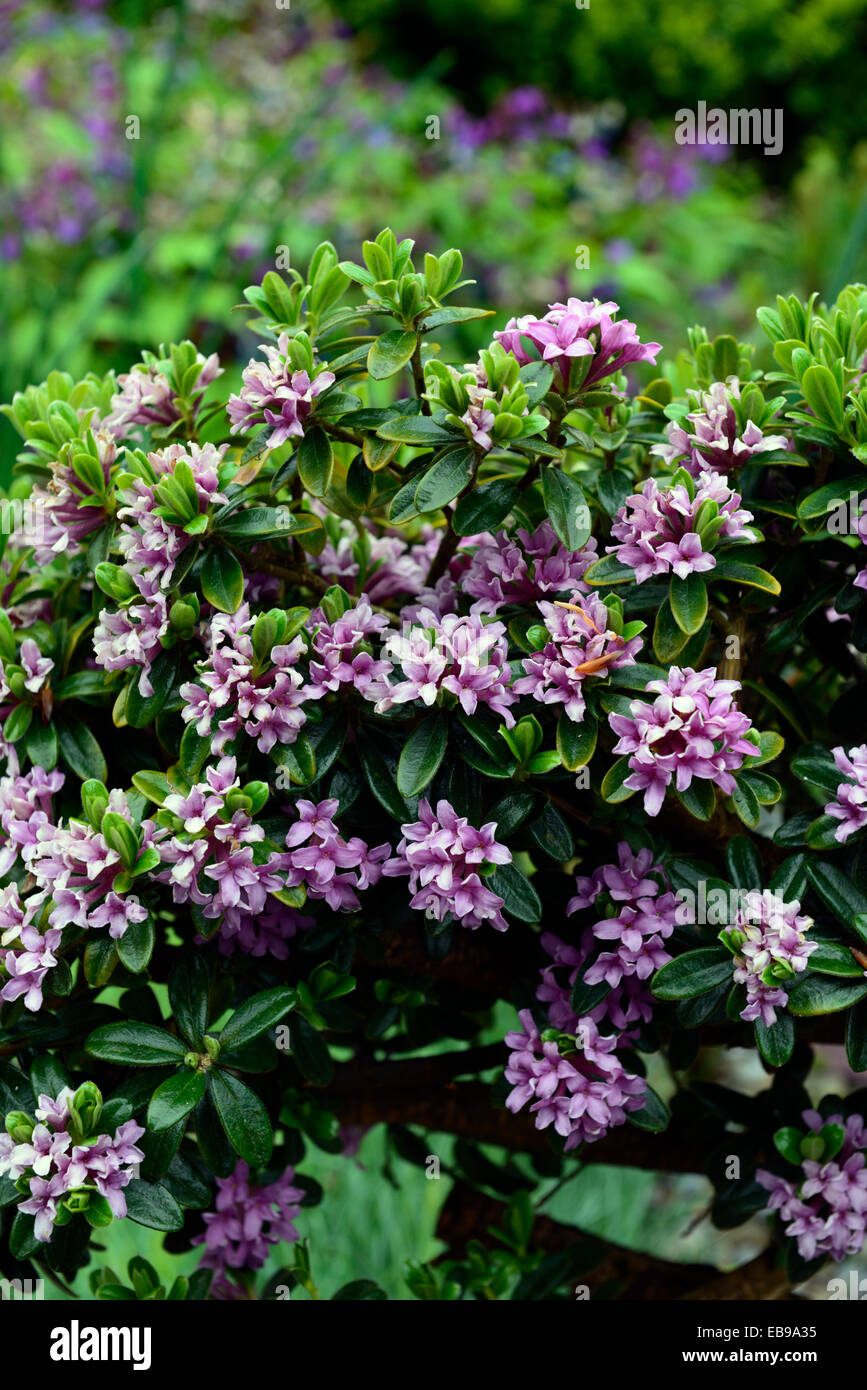 Daphne sericea collina group pink flowers flower flowering scented daphne sericea collina group pink flowers flower flowering scented scent perfume perfumed shrub shrubs rm floral mightylinksfo Image collections