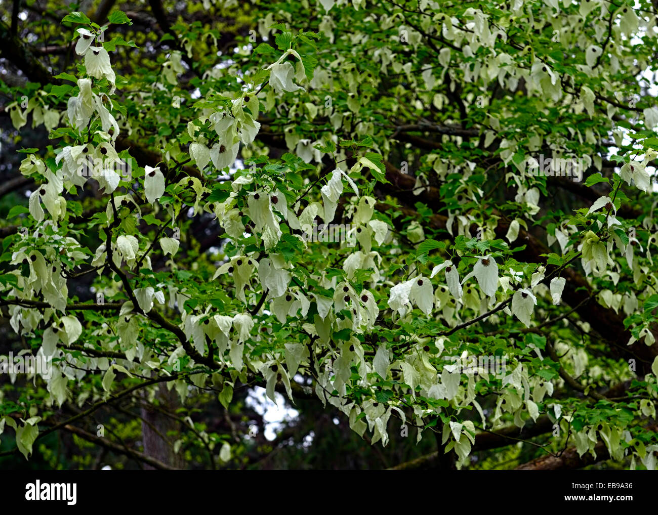 Davidia Involucrata Dove Tree Handkerchief Tree Flower Flowers Stock