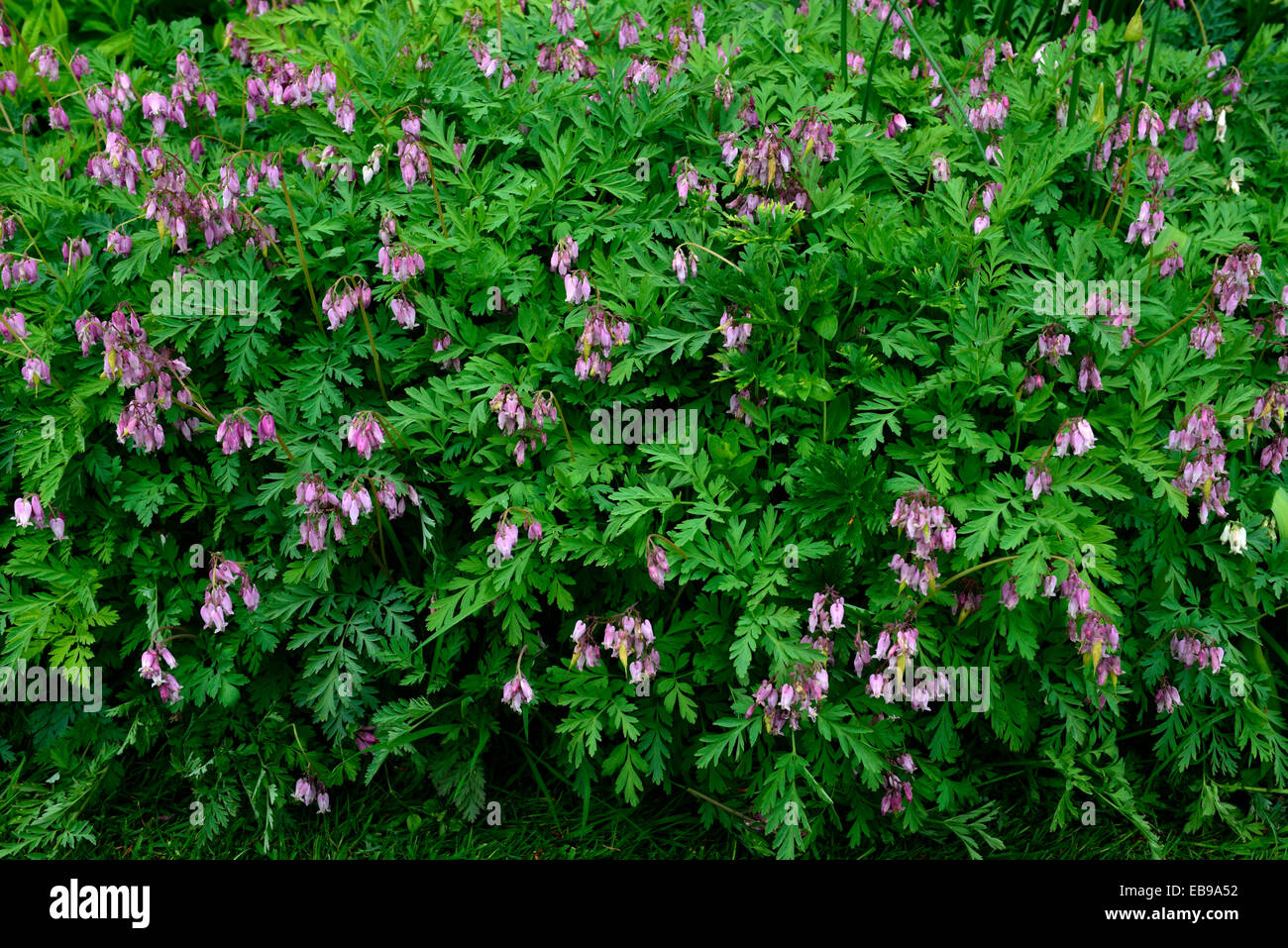 Dicentra eximia pink flowers bleeding hearts ground cover dense dicentra eximia pink flowers bleeding hearts ground cover dense foliage spring flowering perennial rm floral mightylinksfo