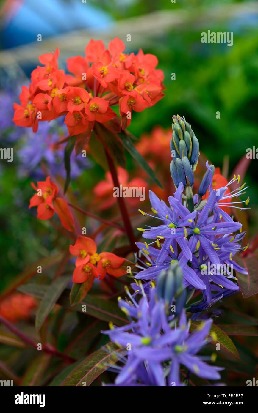 euphorbia griffithii fireglow camassia leichtlinii caerulea orange ...