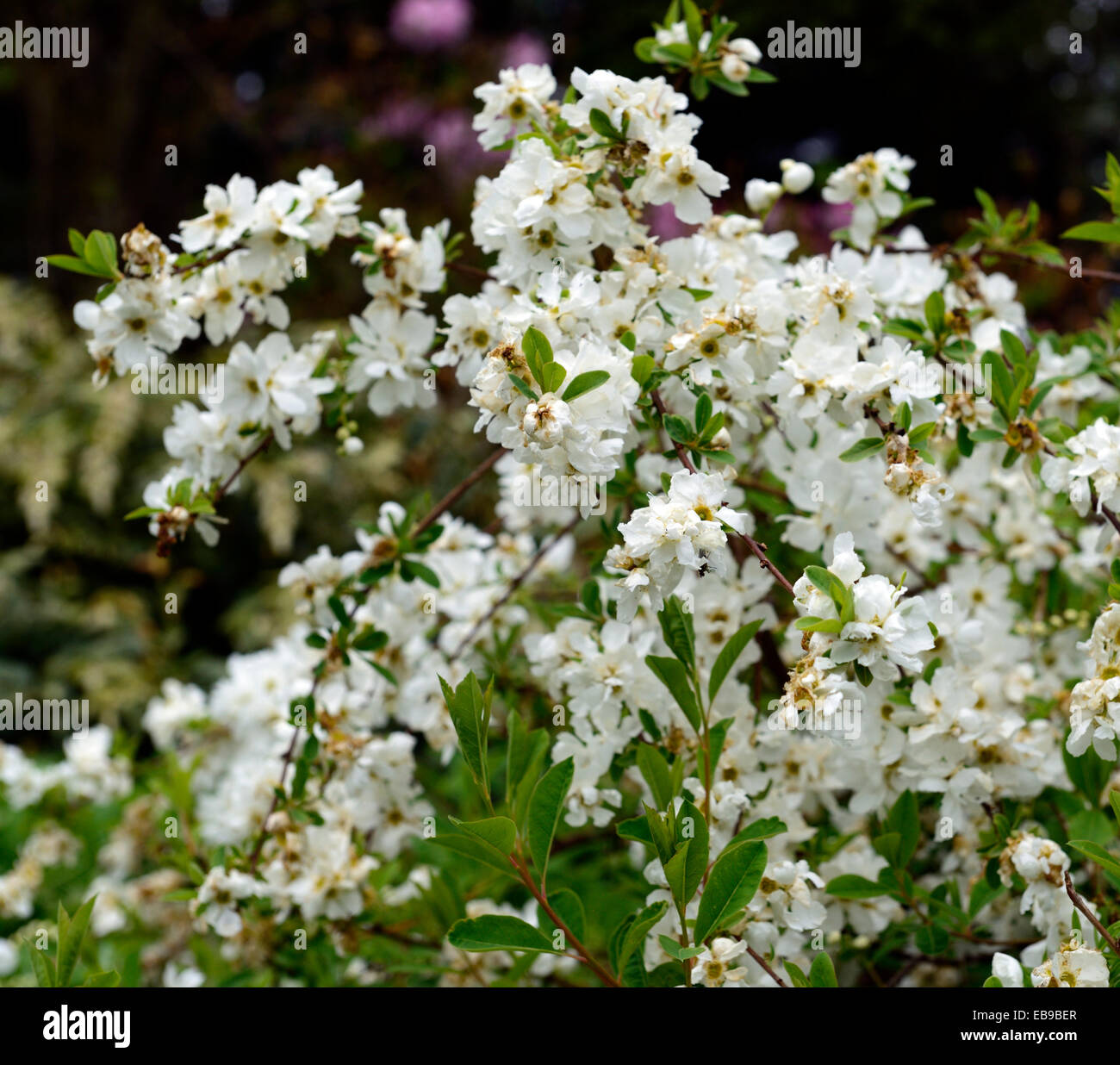 Exochorda X Macrantha The Bride White Flower Flowers Flowering