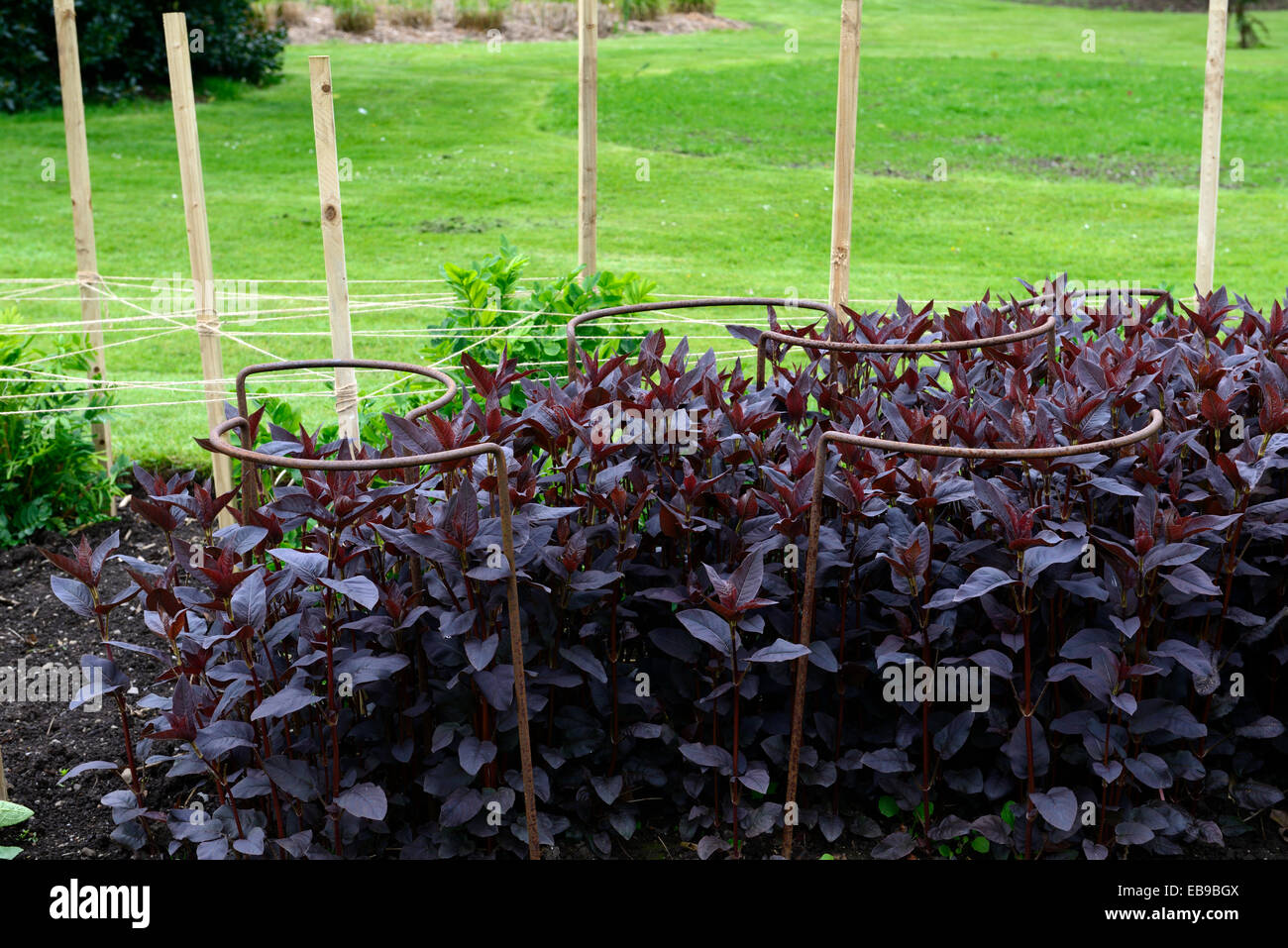 metal ring support supporting new growth in place garden gardening planting scheme RM Floral - Stock Image