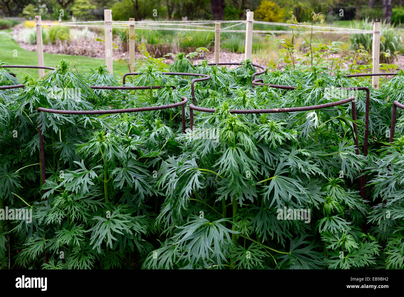 metal ring support supporting new growth in place aconitum garden gardening planting scheme RM Floral - Stock Image