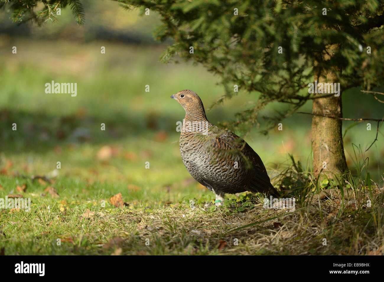 Close-up of a Black Grouse or Blackgame (Tetrao tetrix) in autumn in the bavarian forest. - Stock Image