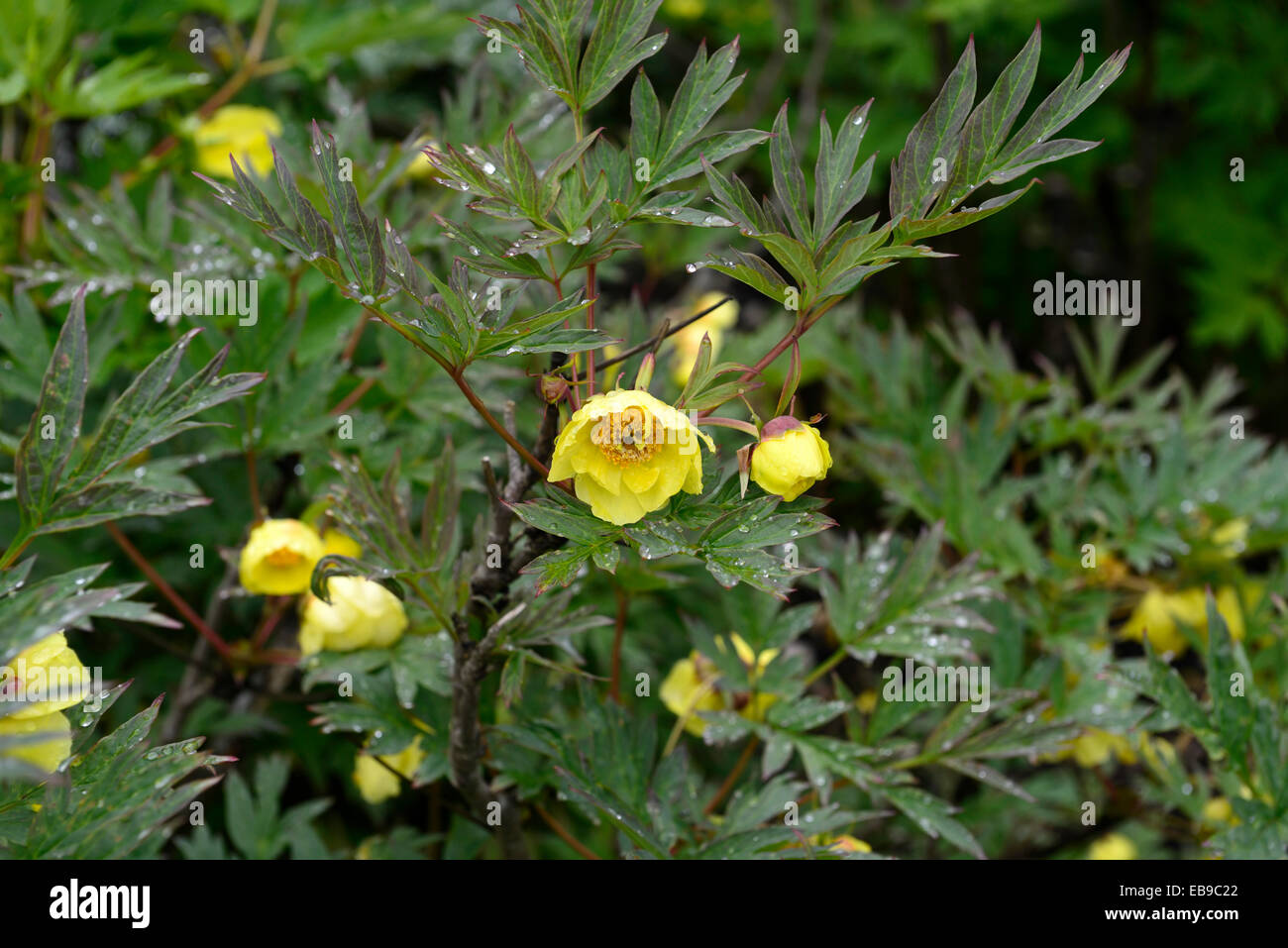 Yellow tree peony stock photos yellow tree peony stock images alamy paeonia potaninii yellow flowers tree peony peonies scented summer flower flowering bloom blooming rm floral mightylinksfo Image collections