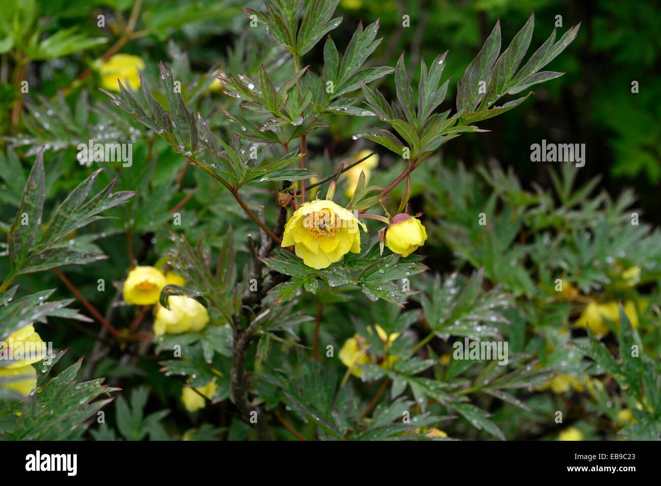 Paeonia Potaninii Yellow Flowers Tree Peony Peonies Scented Summer