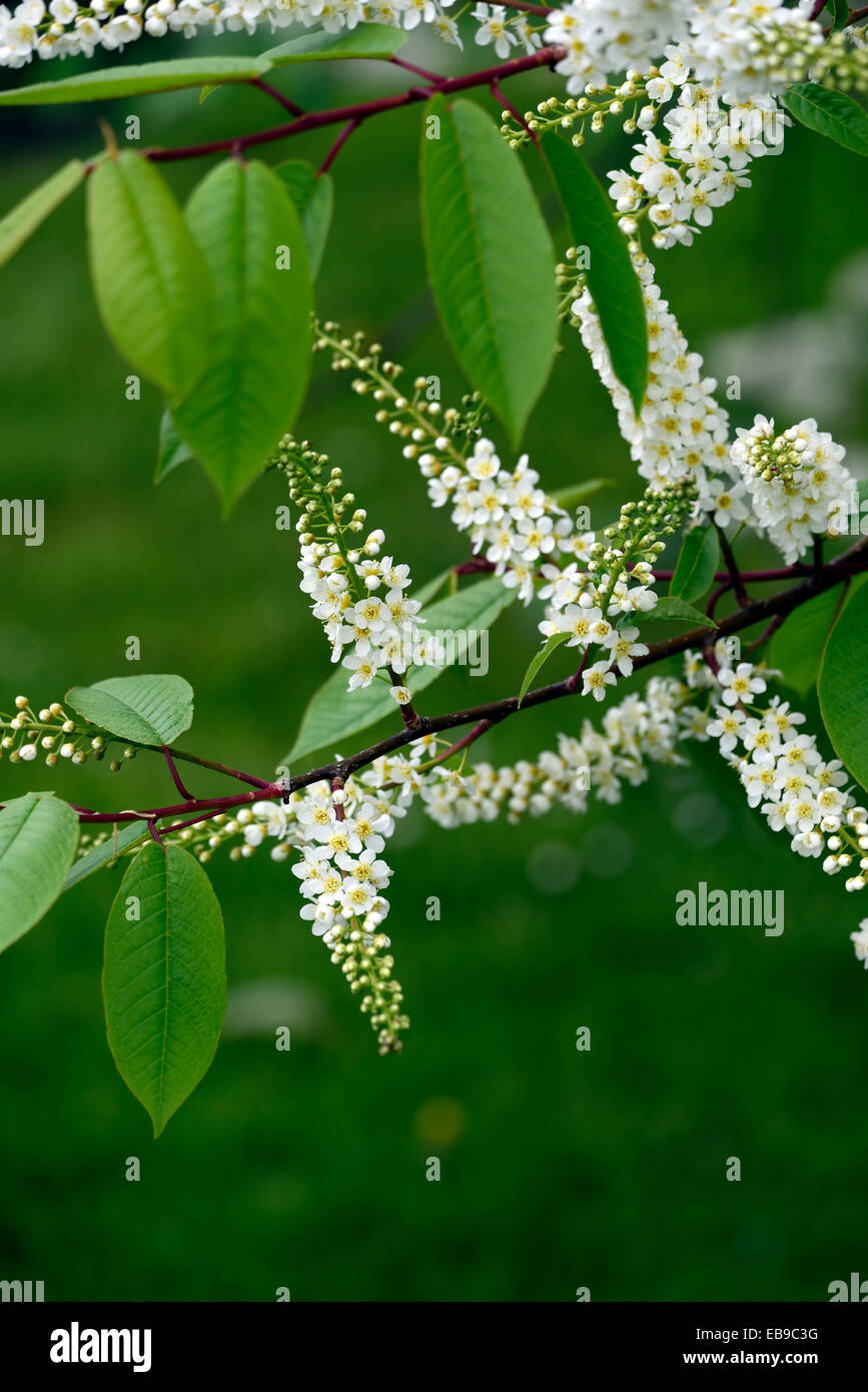 Prunus padus watereri agm bird cherry tree white flowers spike stock prunus padus watereri agm bird cherry tree white flowers spike inflorescence long slender racemes fragrant blooms rm floral mightylinksfo Image collections
