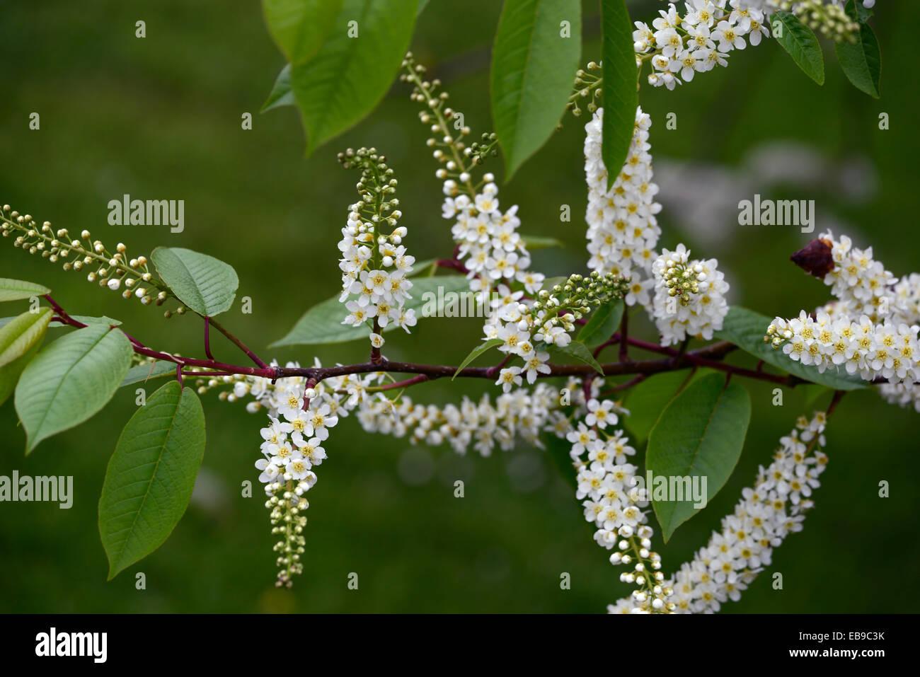prunus padus watereri AGM Bird Cherry Tree white flowers spike Stock ...