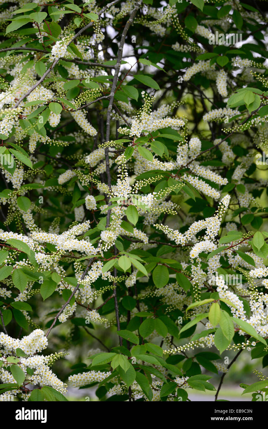 Prunus padus watereri agm bird cherry tree white flowers spike stock prunus padus watereri agm bird cherry tree white flowers spike inflorescence long slender racemes fragrant blooms rm floral mightylinksfo