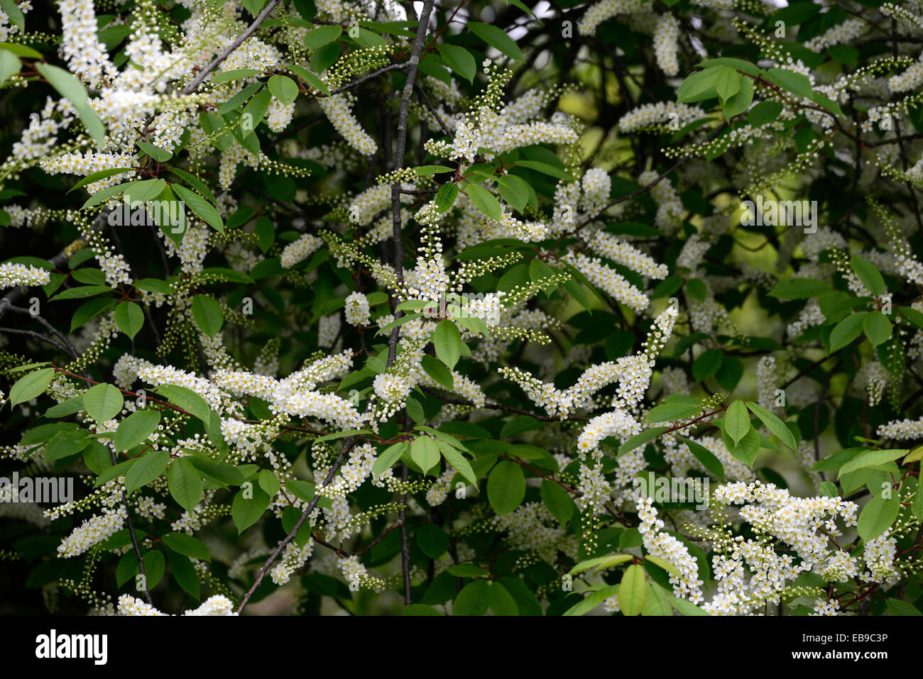 Prunus Padus Watereri Agm Bird Cherry Tree White Flowers Spike Stock