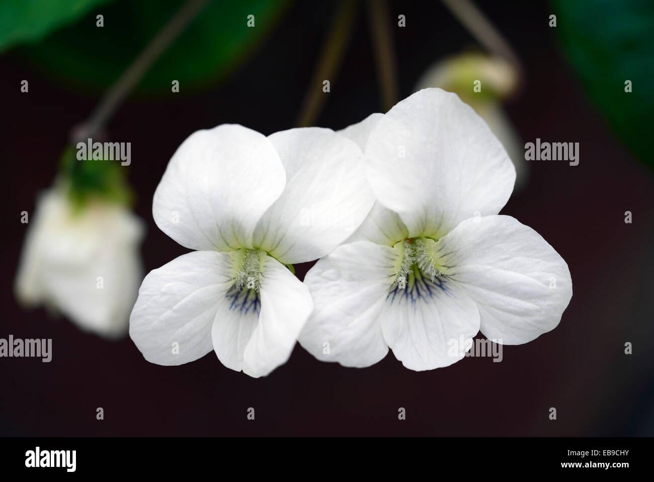 viola sororia albiflora violet white flowers closeup plant portraits petals perennials flower flowering RM Floral - Stock Image