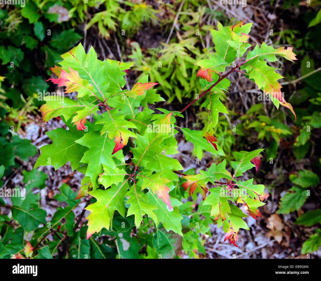 Oak tree sapling changing color colour from green to fall foliage ...