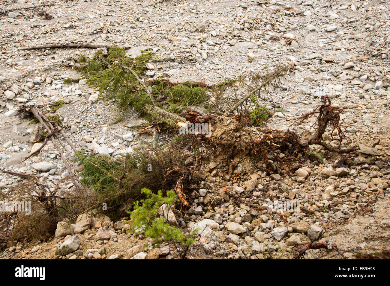 Trees knocked over by flash flooding below La Fouly in the Swiss Alps, in Val Ferret. - Stock Image