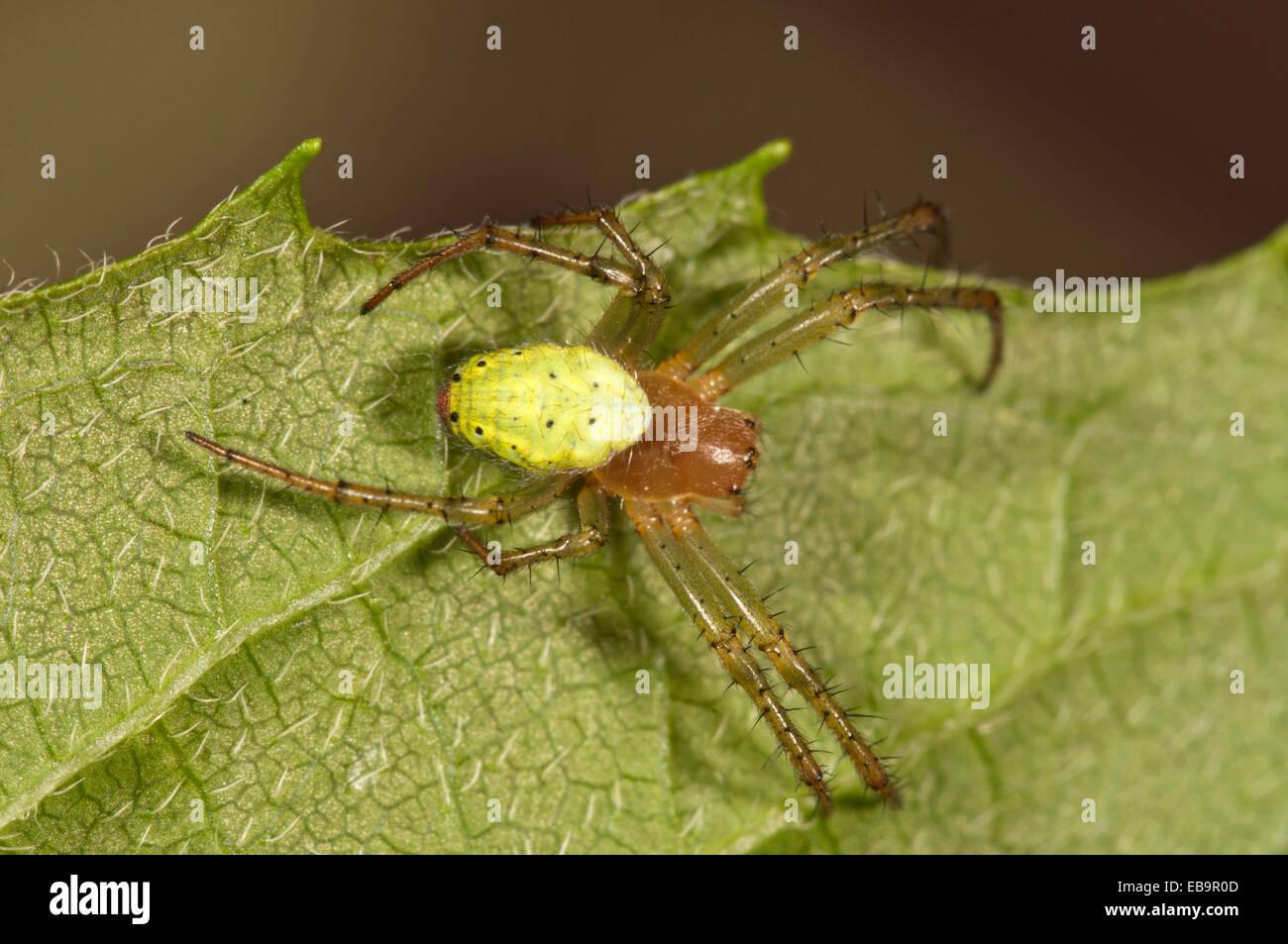 Cucumber Green Orb Spider (Araniella cucurbitina), female, Untergröningen, Abtsgmuend, Baden-Württemberg, - Stock Image