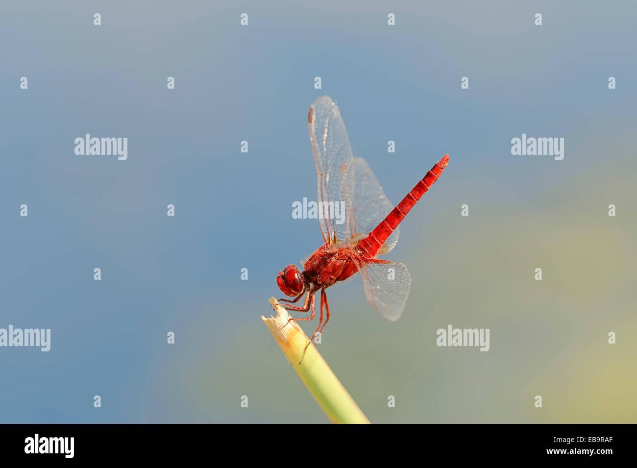 Scarlet Dragonfly (Crocothemis erythraea), male, Central Macedonia, Greece Stock Photo