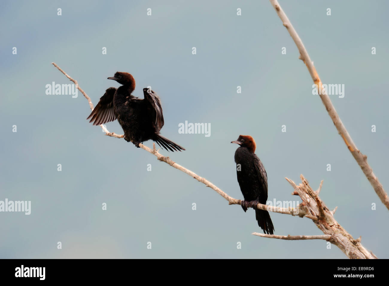 Pygmy Cormorants (Phalacrocorax pygmaeus) perched on branch, Central Macedonia, Greece - Stock Image