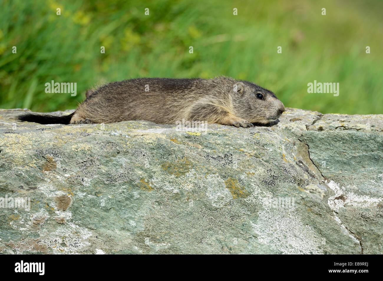 Young Alpine Marmot (Marmota marmota) basking on a rock slab, Grossglockner, Hohe Tauern National Park, Tyrol, Austria - Stock Image