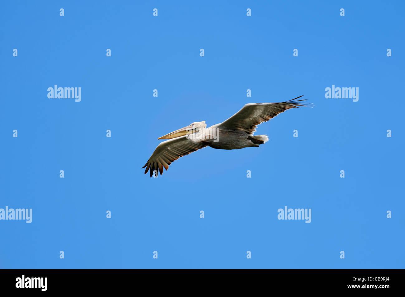 Dalmatian Pelican (Pelecanus crispus) in flight, Central Macedonia, Greece - Stock Image