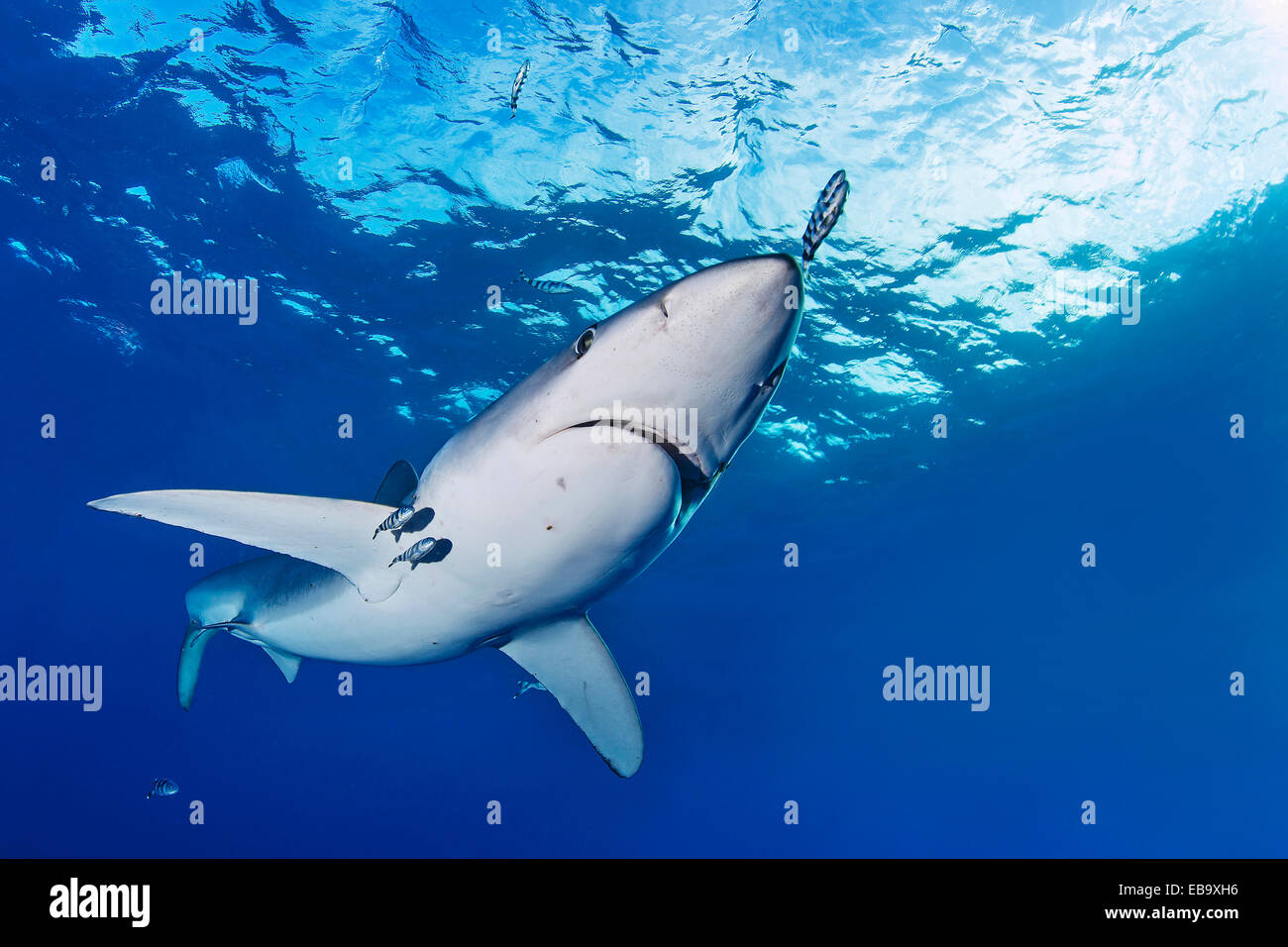 Blue Shark (Prionace glauca), Azores, Portugal Stock Photo