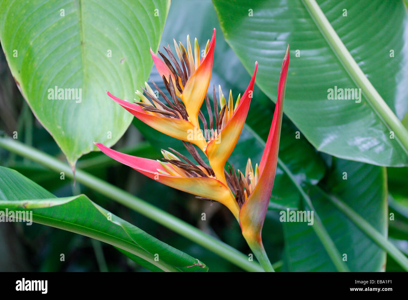 Red and yellow Lobster Claws (Heliconia aurantiaca) in a greenhouse, botanical gardens of The Eden Project, St Austell, - Stock Image