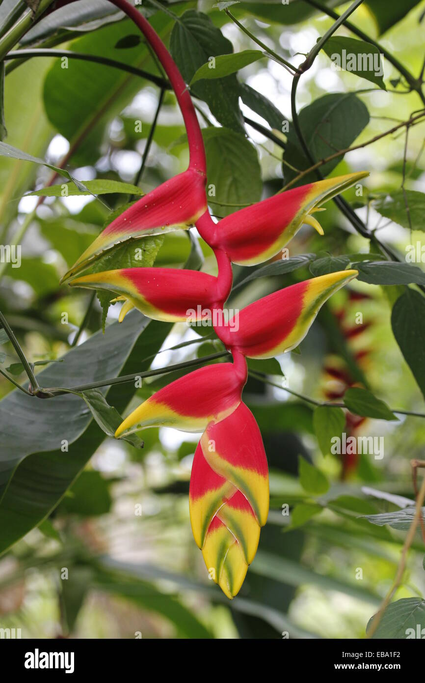 Pendent Heliconia (Heliconia pendula) in a greenhouse, botanical gardens of The Eden Project, St Austell, Cornwall, - Stock Image