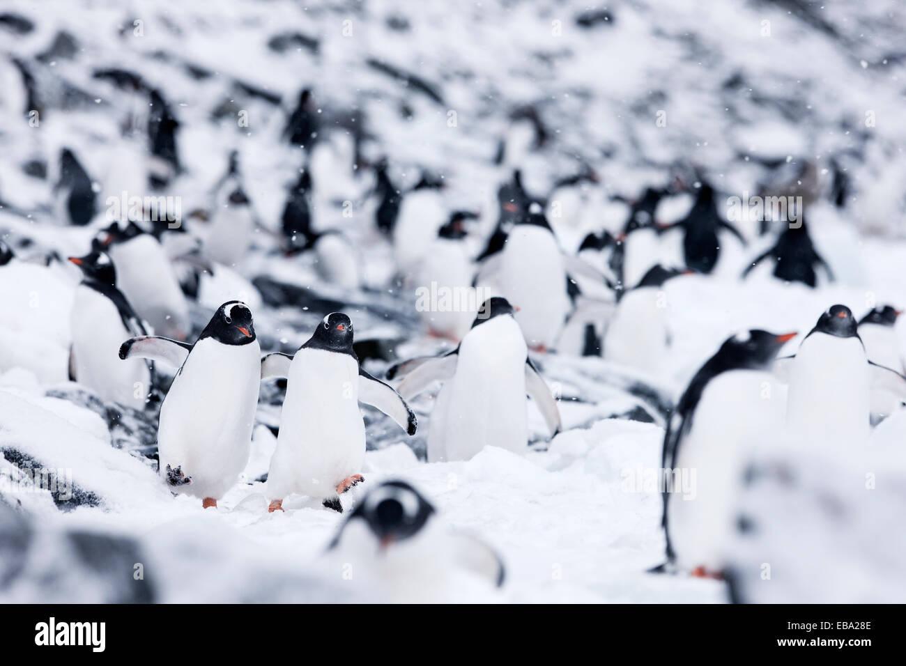 Gentoo penguins (Pygoscelis papua), Antarctic Peninsula, Antarctica - Stock Image